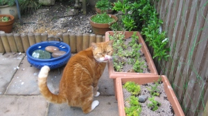 Oscar checking out the cat mint in the bee friendly pots protected by a thick layer of gravel.