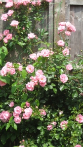 Stunning rose bush - totally pesticide free.