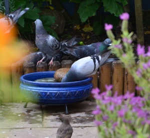 Pigeon drinking without tipping his head back.