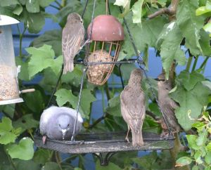 Starling babies learn to eat from the fat ball.