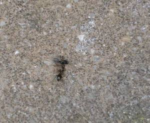 winged ant gets pulled along
