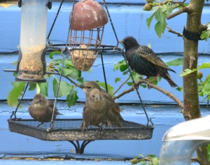 two baby starlings and a parent