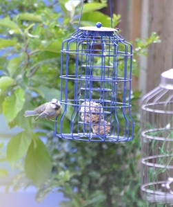 blue tit eyes up the fat ball feeder