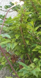 Can you see the bird box in this bush? No, neither can the birds.