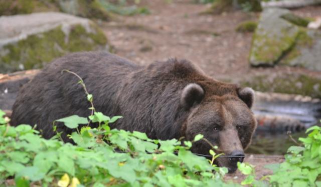 new brown bear