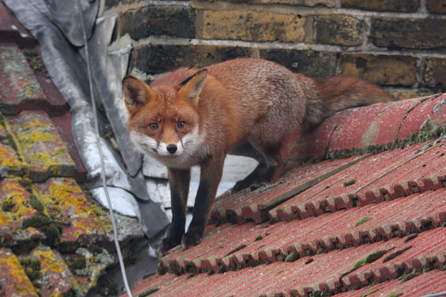 Beautiful urban fox but not in my garden unfortunately.